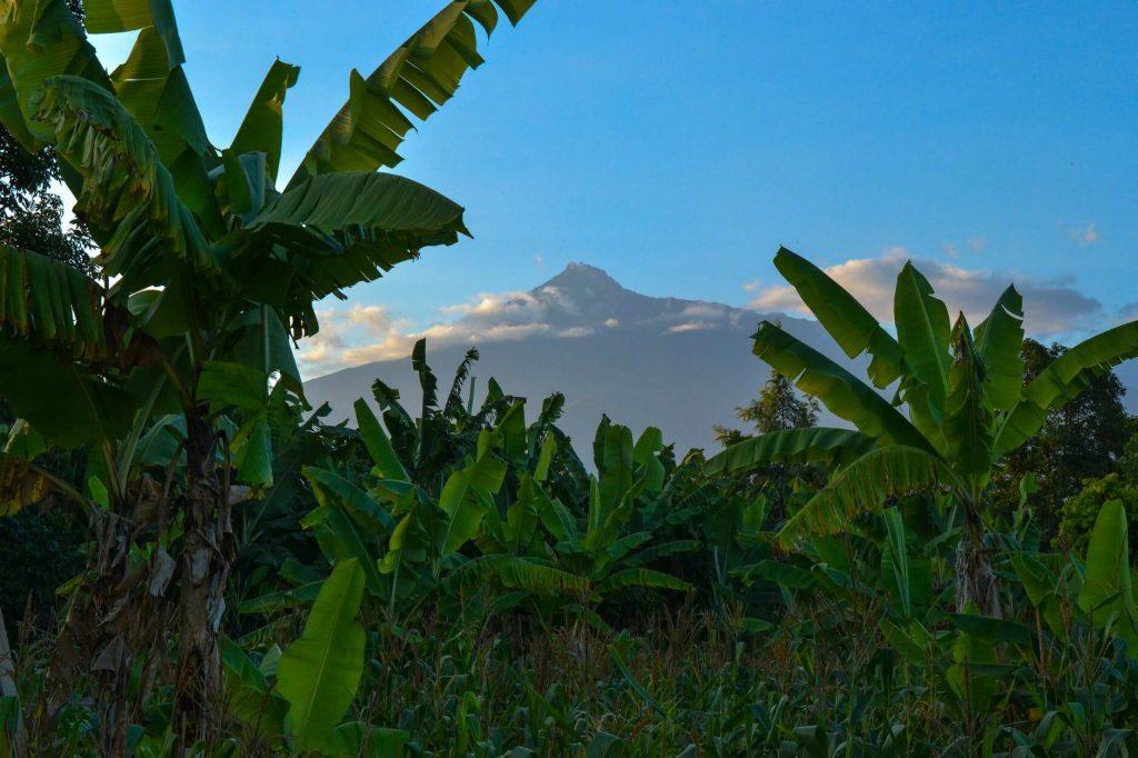 banana tree benefits